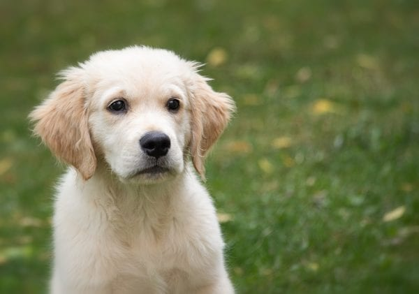 The Best Dog Breeds for Families 2020 : 10 Best Family Dogs
