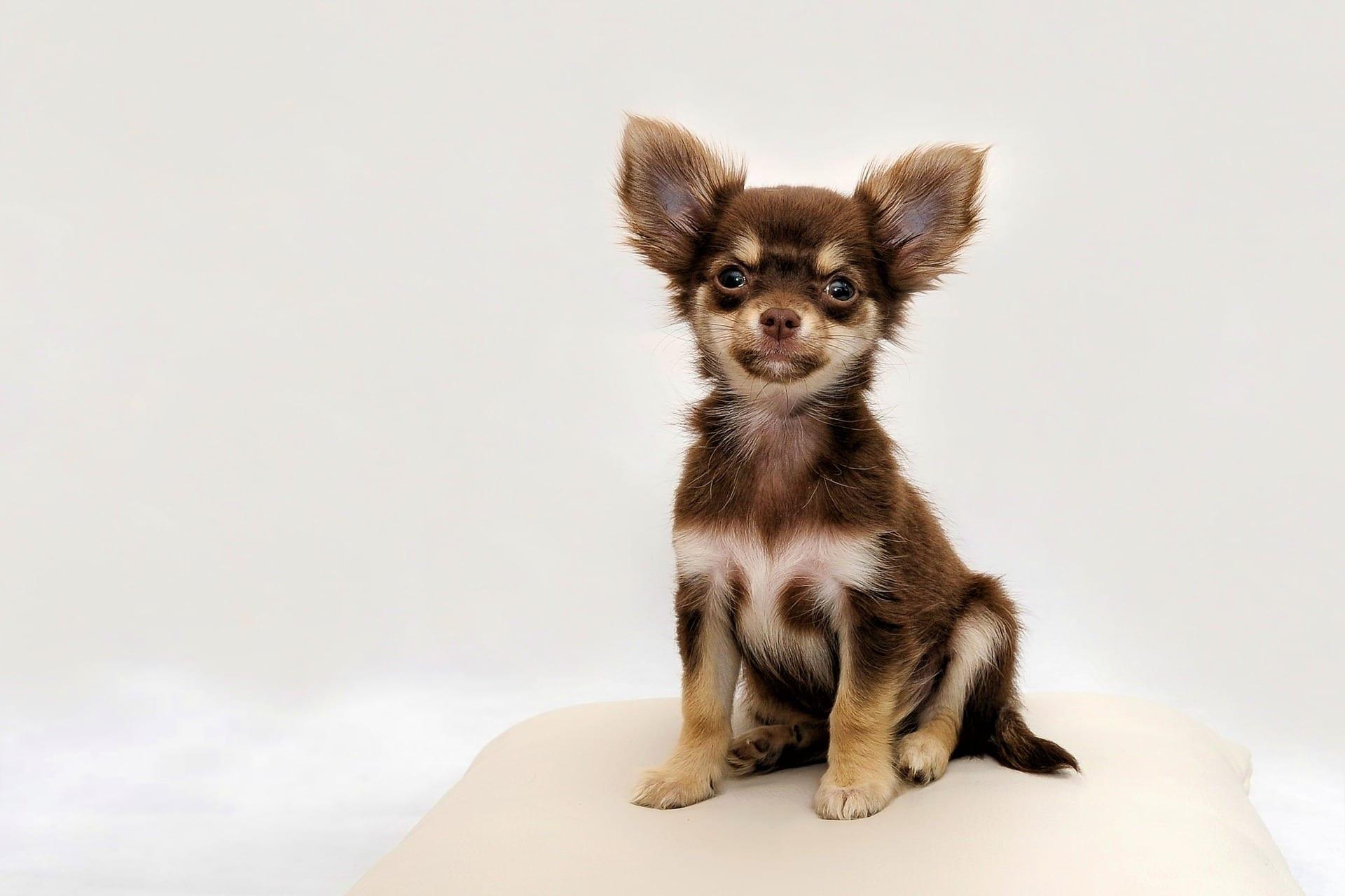 Chihuahua VS Pug