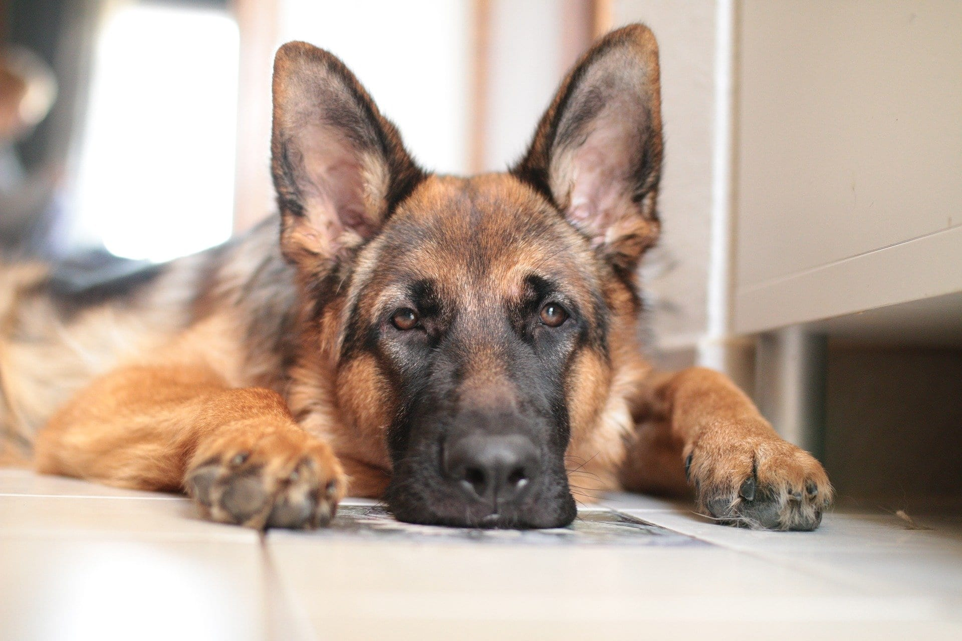 Top 10 Most Intelligent Dog Breeds in the World