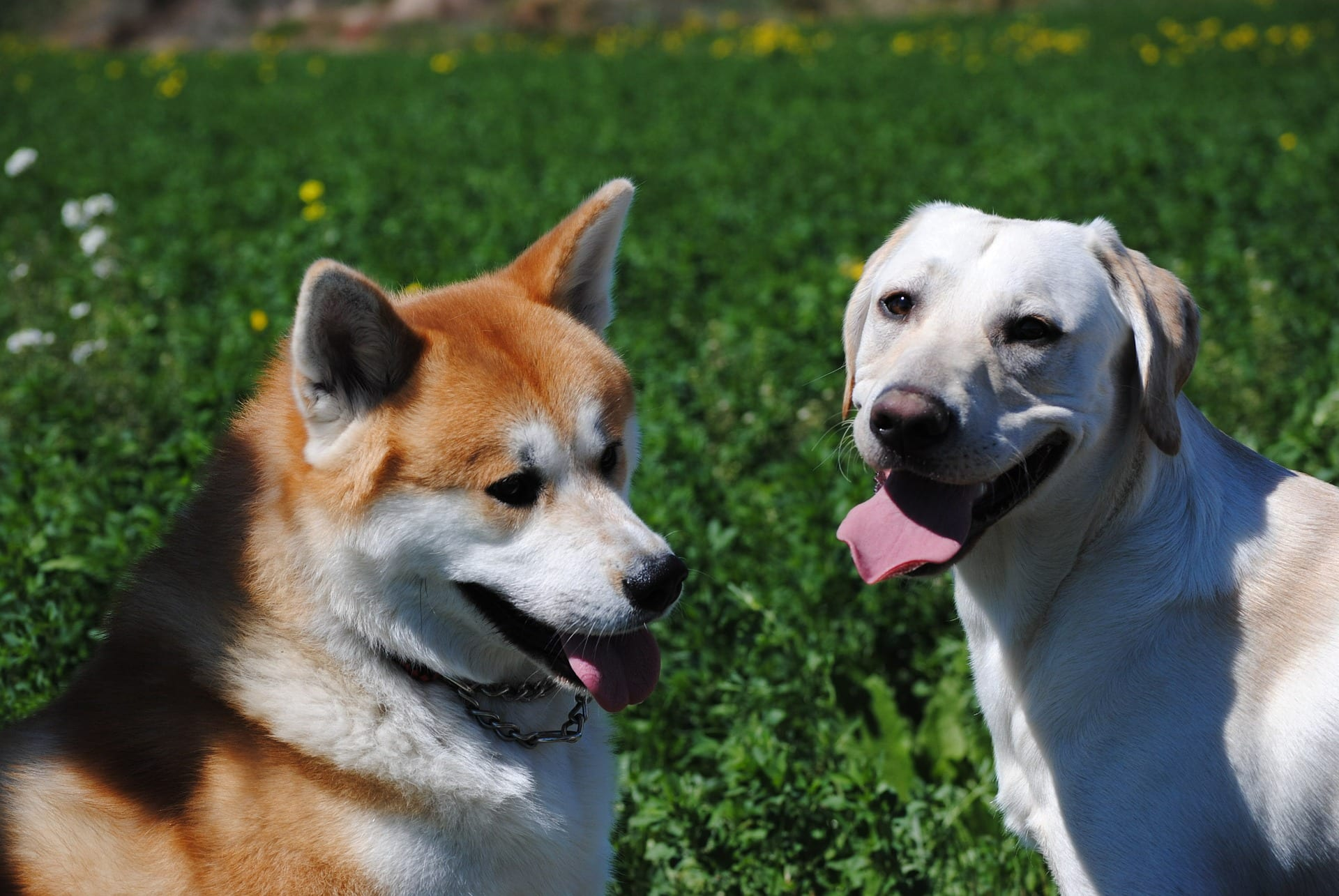 Top 10 Most Protective Dog Breeds in the World