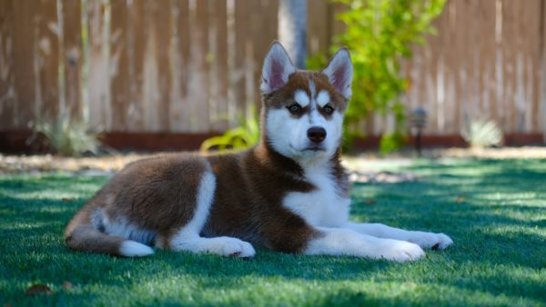 Top 10 Most Shedding Dog Breeds in the World