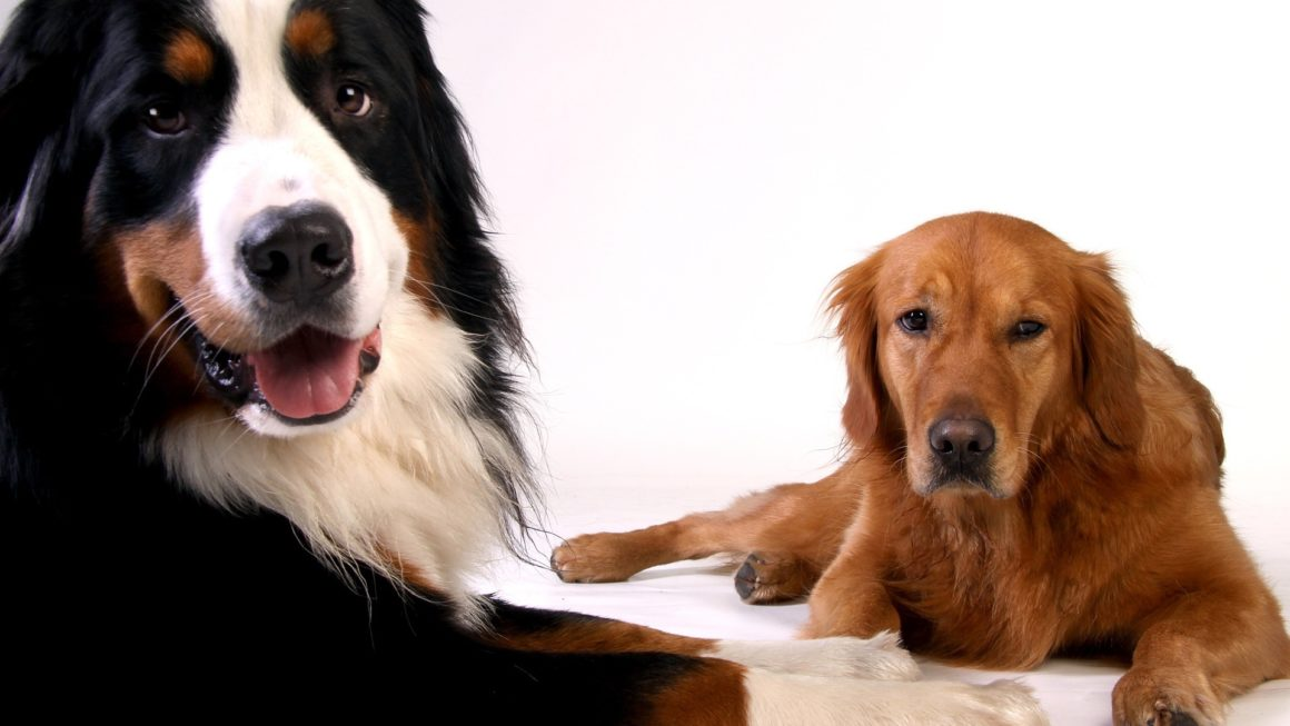Most Laziest Dog Breeds in the World
